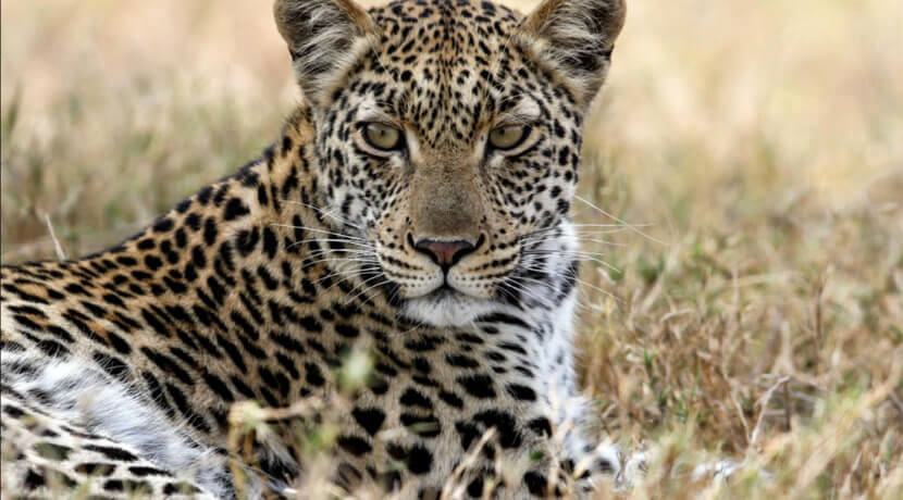 Young-Leopard-at-picnic-spot
