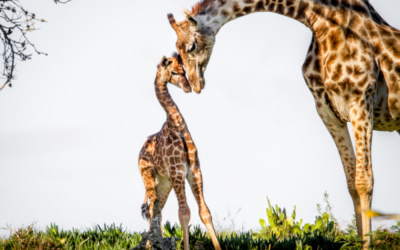 Giraffe Mother Child Bondage
