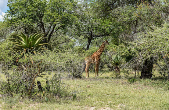 Lonely Giraffe In Sabie Park