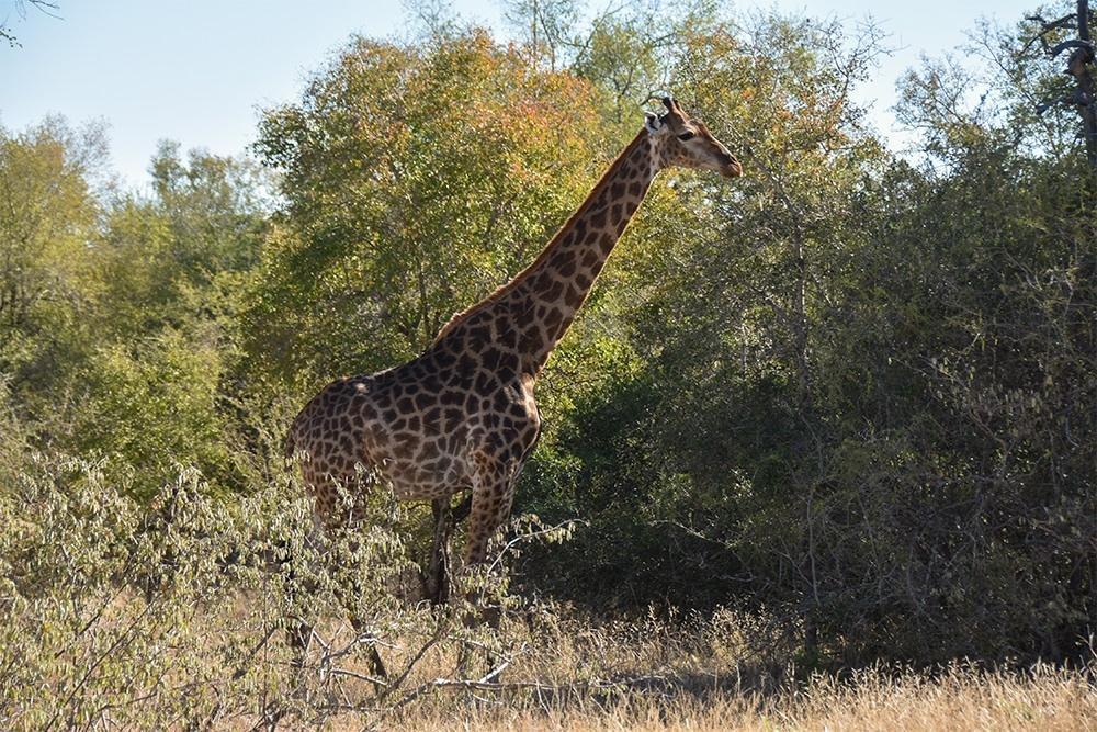 Sabiepark-Giraffe-Grazing-Near-the-River