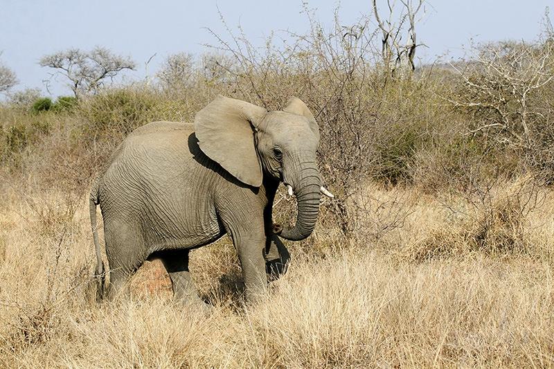 "alt=""Young elephant bull slowly walking past us"">"