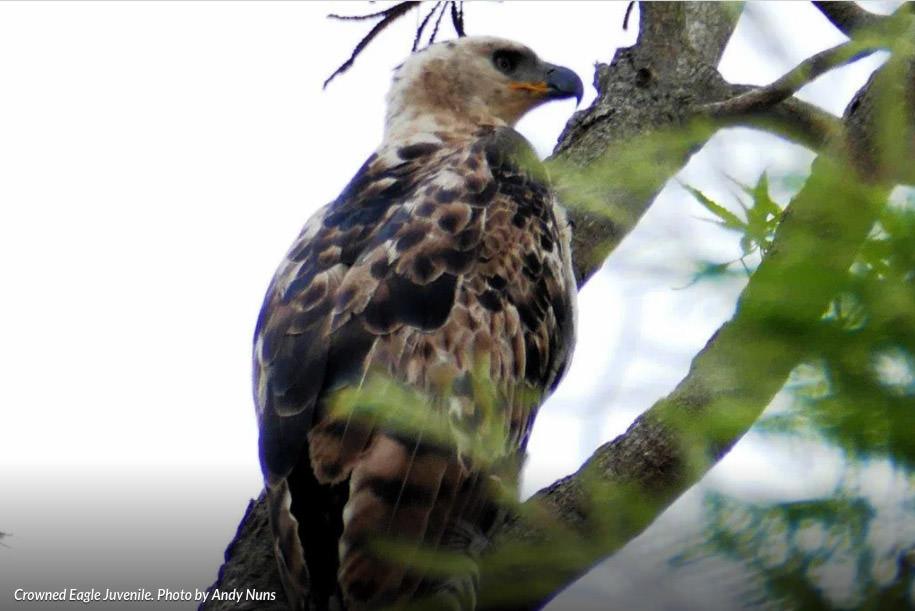 Crowned-Eagle-Juvenile
