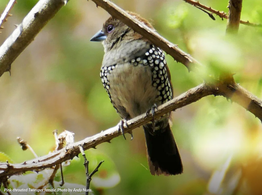 Female-Pink-throated-Twinspot.