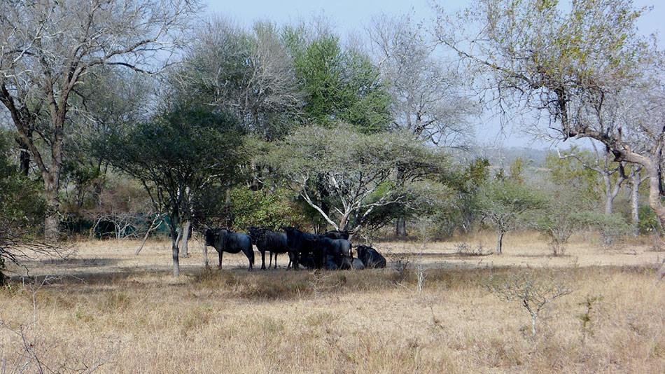 "<alt=""Sabiepark-Wildebeest-Resting-in-shade-of-a-tree"">"