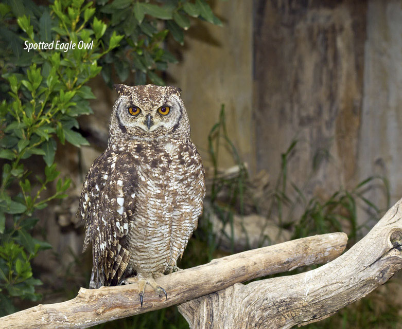 """<""""Spotted-Eagle-night-Owl"""">"""