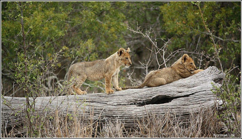 lion-cubs-in Kruger-park