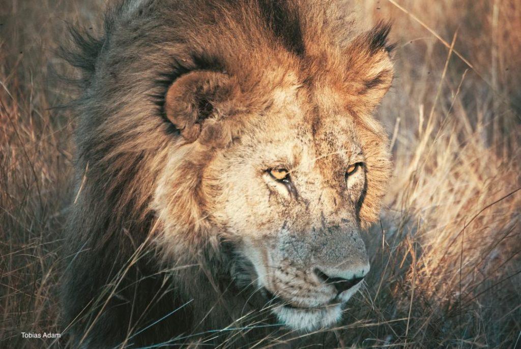 Mail-lion-stalking-prey!